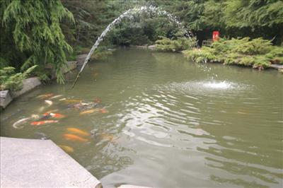 The japanese koi company aquatics centre bedfordshire for Koi carp henlow